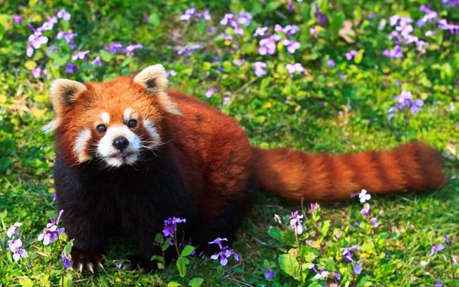 kızıl panda / kırmızı panda