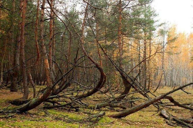 Sarhoş Ağaçlar ciddi bir doğa problemidir.