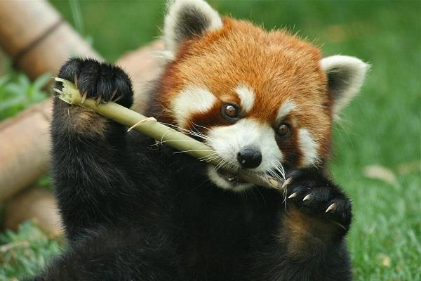 kızıl panda uyanık zamanlarını genellikle bambu yiyerek geçirirler.