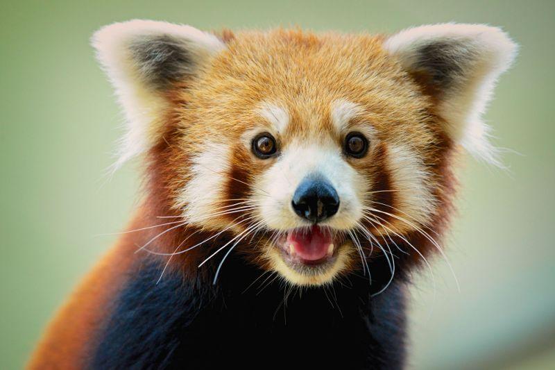 kırmızı panda