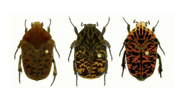 Üç gübre böceği türüne Game of Thrones ejderhalarının adı verildi