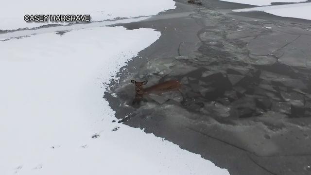 Geyik drone yardımıyla donmuş gölden kurtarıldı
