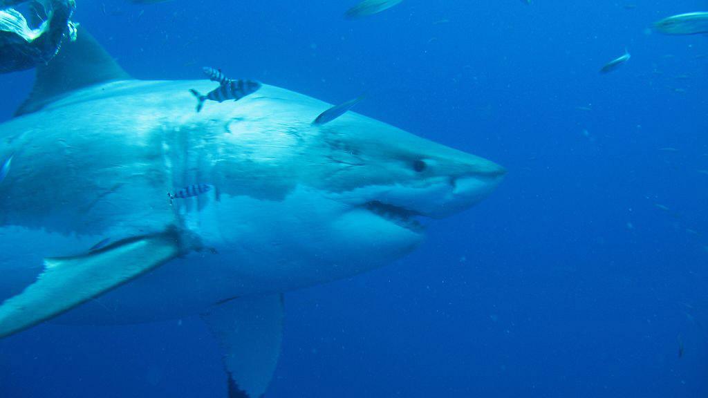 50 yaşından büyük olduğuna inanılan Deep Blue, bir sperm balinası kalıntısı ile beslenirken görüldü ve tespit edilmesinin tek sebebi buydu
