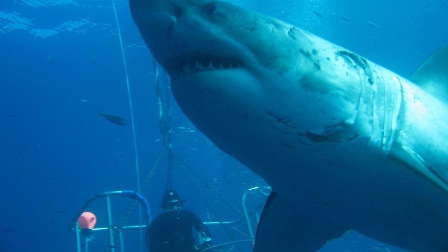 Dünyanın en büyük köpek balığı 50 yaşında ve 6 metre uzunluğunda