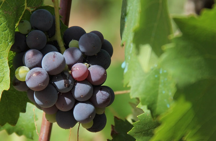 Sicilya'nın şarap bölgeleri