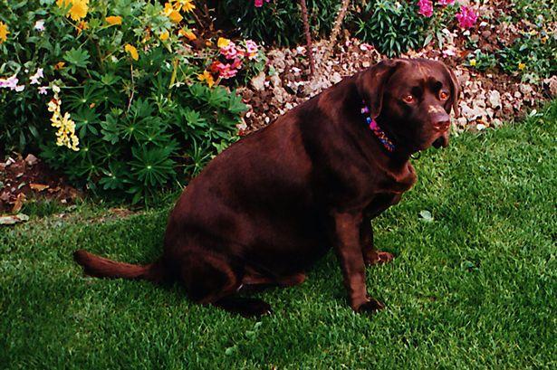 Kilolu köpekler zayıf köpeklerden iki buçuk yıl erken ölüyor
