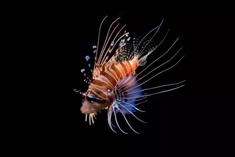 Aslan balığı, iskorpit balığı türüne iyi bir örnek