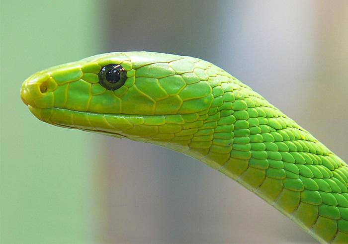 Yılan zehiri nedir? / Green Mamba