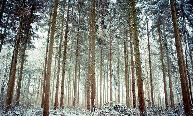 Ağaçlar soğuk kış iğne yapraklılar