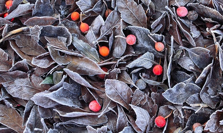 yapraklar ve alıç meyveleri