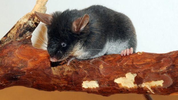 cüca fare fındık faresi pygmy dormouse