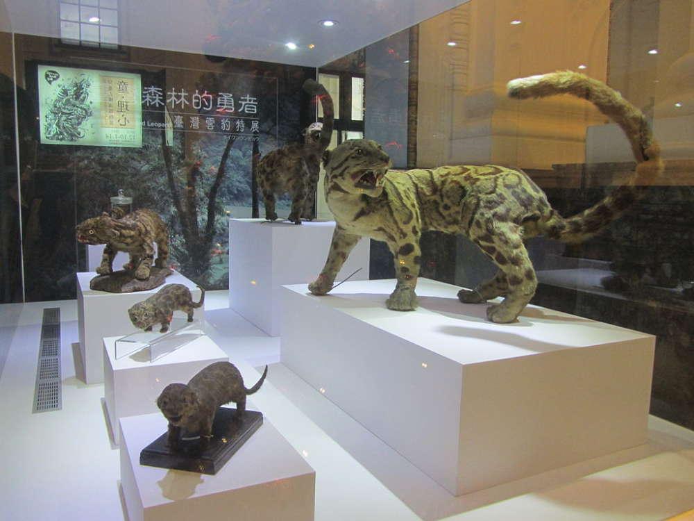 Nesli tükendiği düşünülen Leopar Tayvan'da görüldü