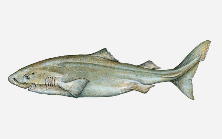 Grönland köpek balığı