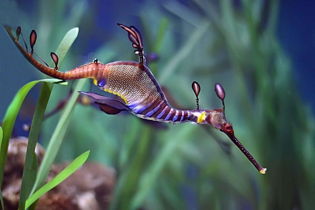 otlu deniz ejderi weedy sea dragon