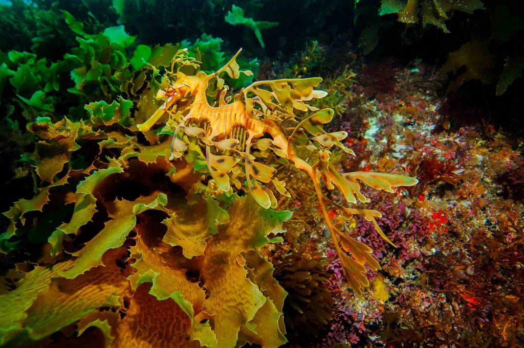 yapraklı deniz ejderi leafy sea dragon