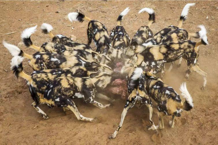 Afrika yaban köpeği sürüsü avlanma