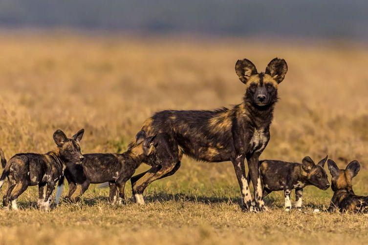 Afrika yaban köpeği anne ve yavruları