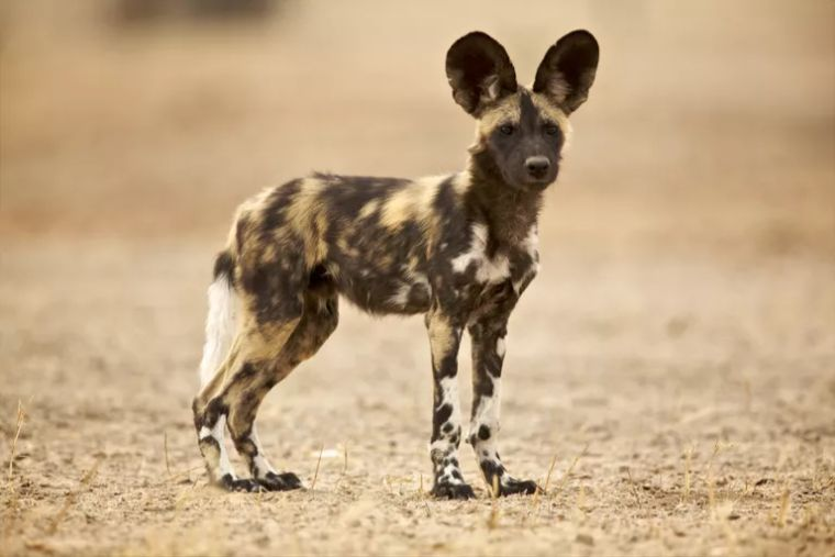 yavru Afrika yaban köpeği