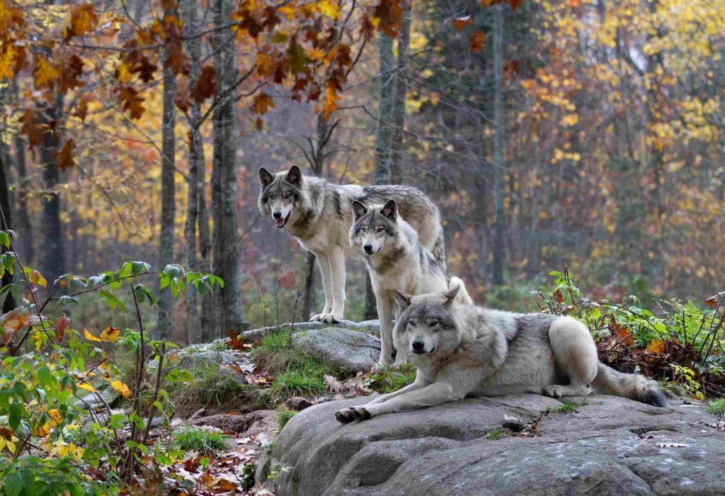 üç Bozkurt (Gri kurt) yan yana duruyor