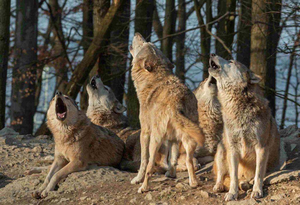 Bozkurt (Gri kurt) grubu uluyor