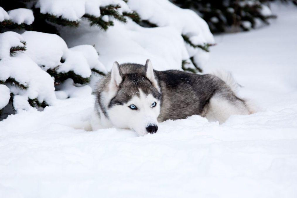 husky sibirya kurdu