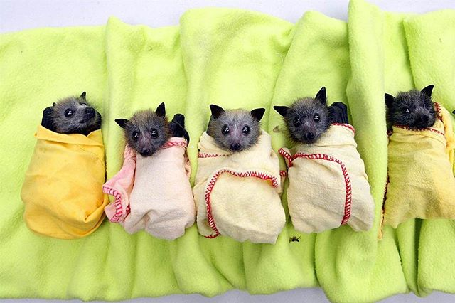 evcil yarasalar meyve yarasası bebek yarasalar