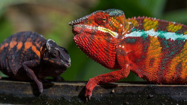 panter bukalemunları dişi ve erkek canlı renklerle