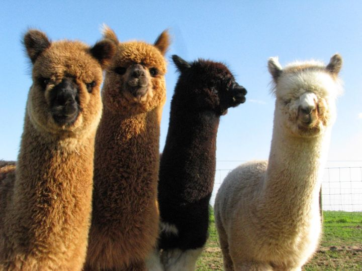 alpaka develerin kuzeni