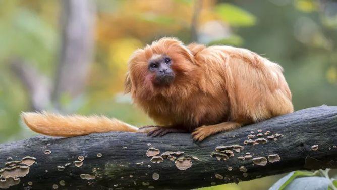 Altın aslan maymunu (Leontopithecus rosalia)