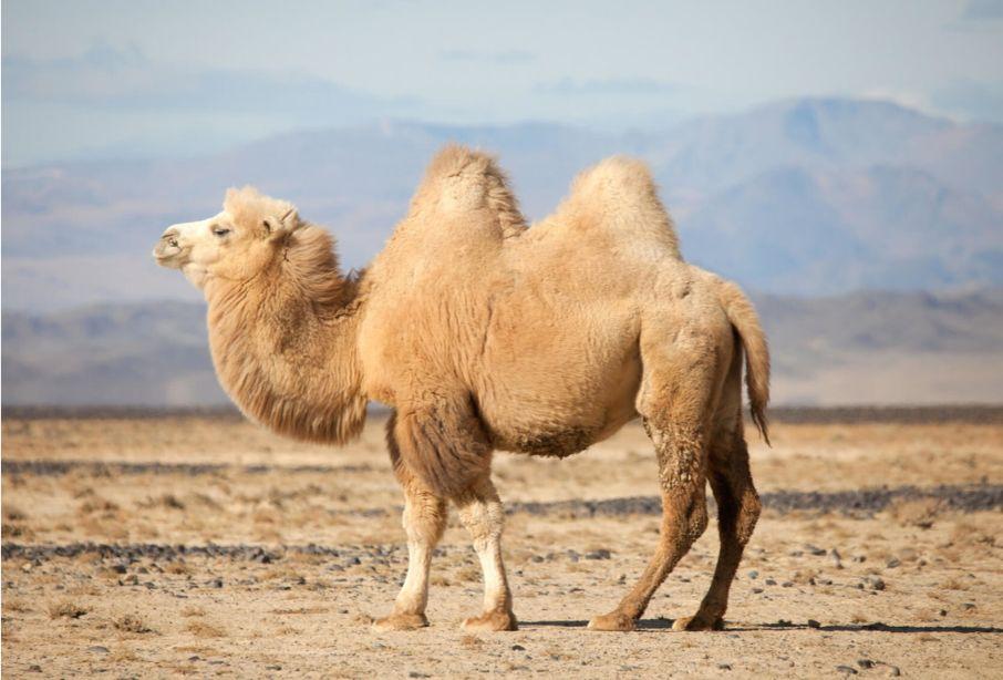 Baktriya devesi develer