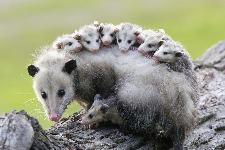 keseli sıçan anne ve yavruları