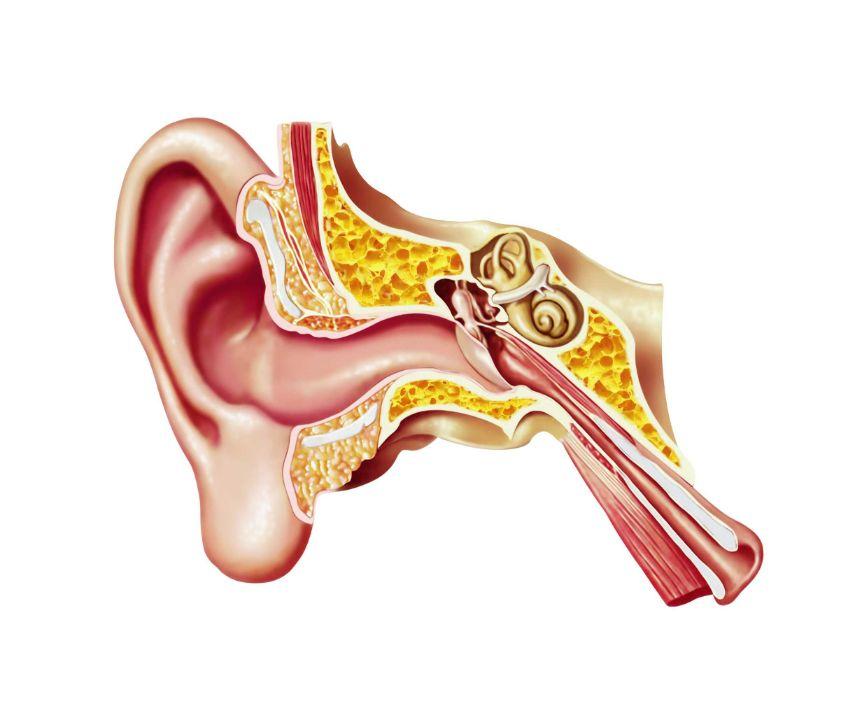 insan kulak zarı çizimi