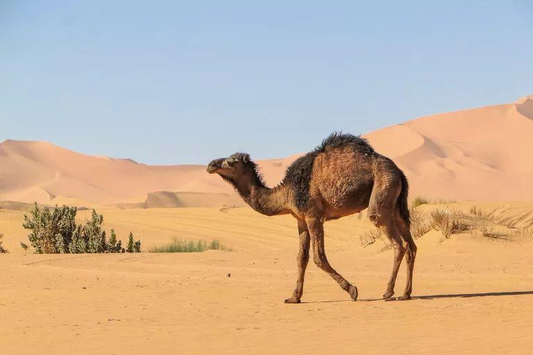 Tek hörgüçlü deve develer