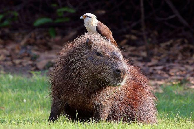 Kapibara ve caracara