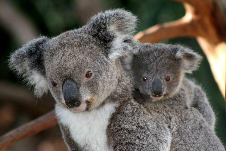 koala yavrusu annesine sarılmış