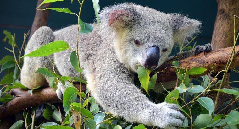 koala okaliptüs yaprakları yiyor
