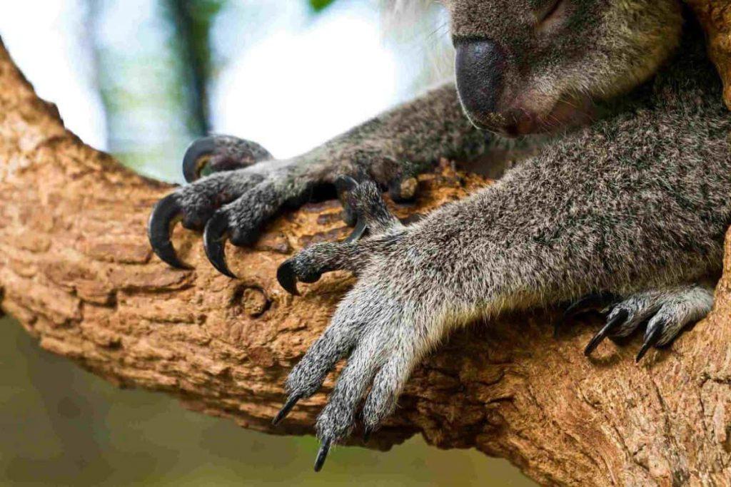 koala pençeleri neredeyse bir kartalınkinden farksız
