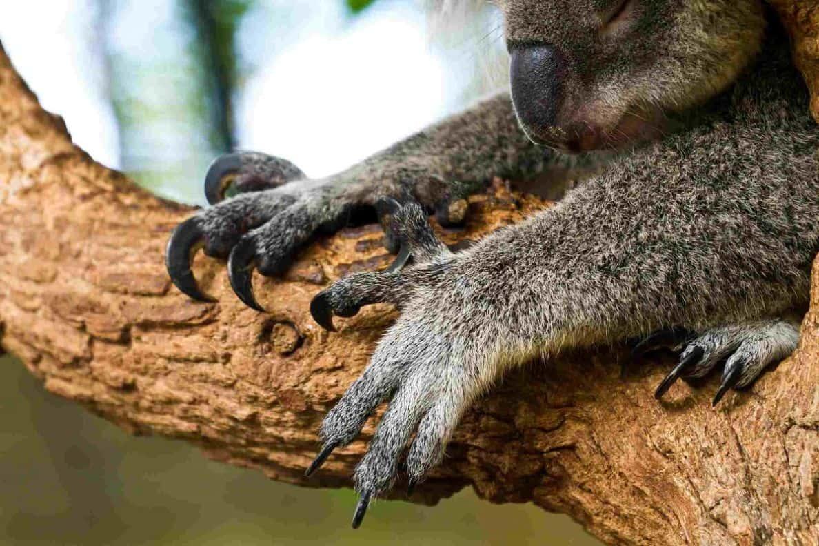 koalalar koala