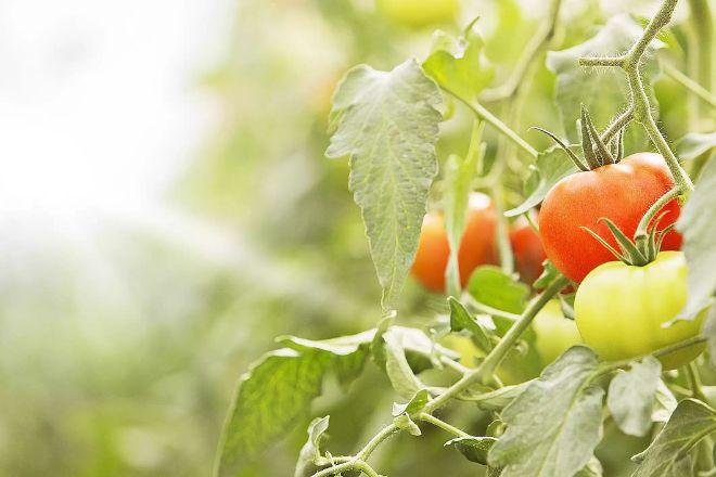 domatoes