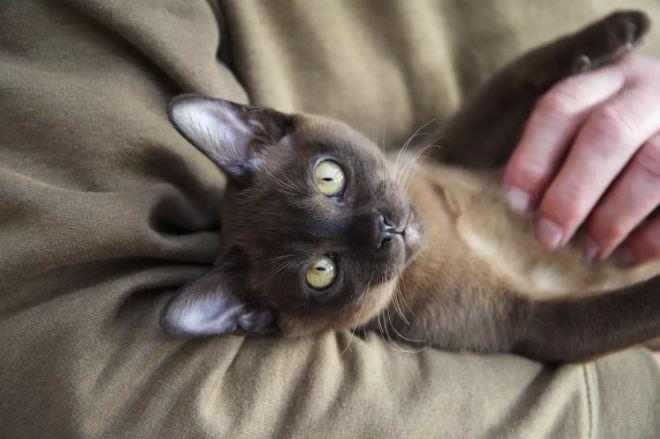 En uzun yaşayan kedi türleri birman