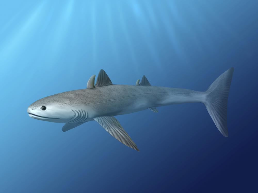 köpek balığının gelişimi