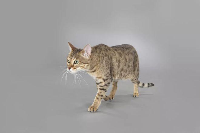 En uzun yaşayan kedi türleri savannah