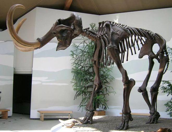 mamut iskeleti