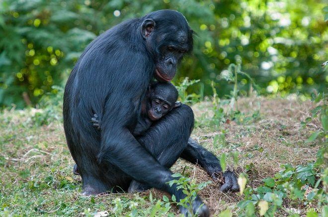 iklim değişikliği bonobo
