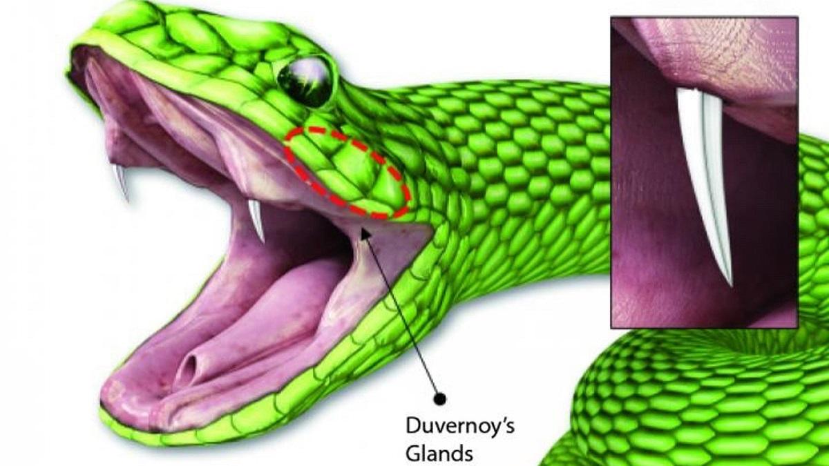 mikro iğneleme yılan dişi