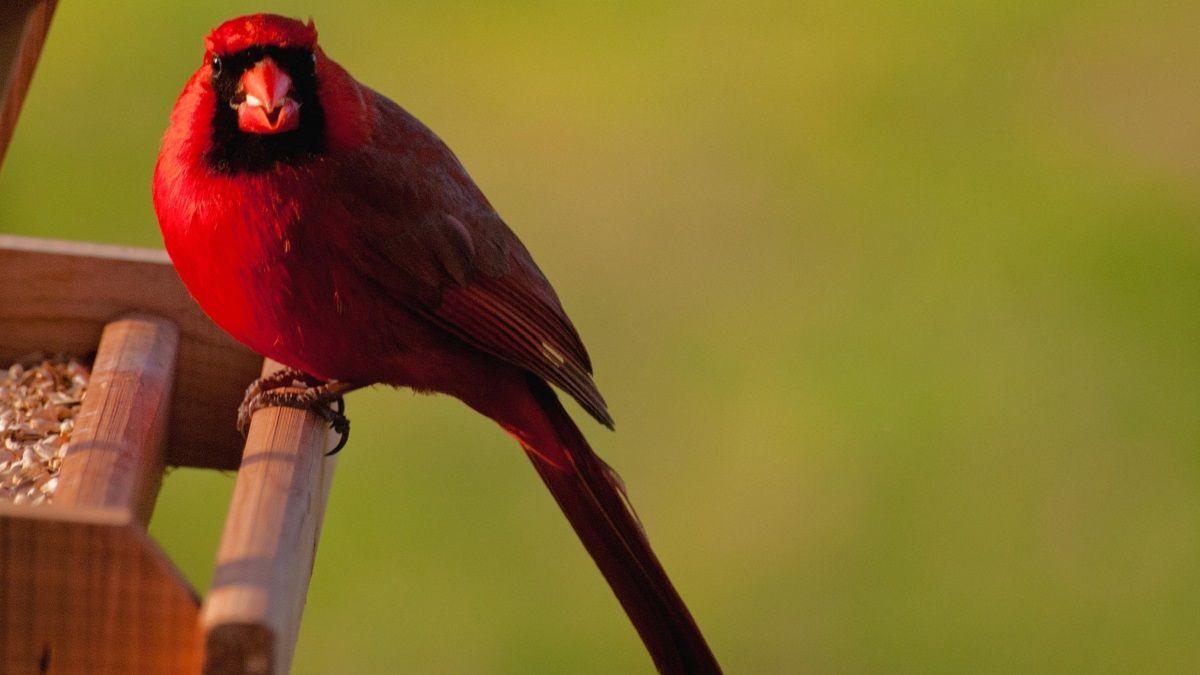 Kardinal kuşu (Cardinalis cardinalis)