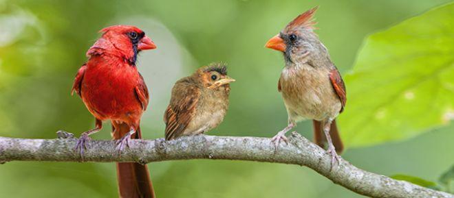 Sırasıyla erkek, yavru ve dişi Kardinal kuşu