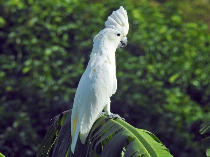beyaz kakadu palmiye dalında tünüyor