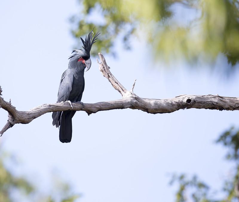 palmiye kakadu ağaç dalında duruyor