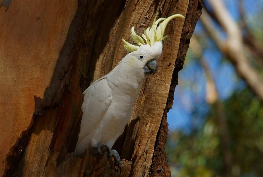 sarı taçlı kakadu sülfür taçlı kakadu ağaç kovuğunda